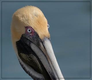 Those eyes!  Brown Pelican