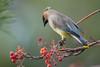 Cedar Waxwing (Bombycilla cedrorum) (byjcb) Tags: waxwing birds reno nevada unitedstates us