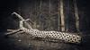 Quadrifogli 1 (Enrico Piolo) Tags: tronco corteccia nudo disegno buchi quadrifoglio bosco natura morta arte sella trentino bianconero