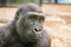 2018-01-19-13h58m41.BL7R8765 (A.J. Haverkamp) Tags: canonef100400mmf4556lisiiusmlens douli amsterdam noordholland netherlands zoo dierentuin httpwwwartisnl artis thenetherlands gorilla pobamsterdamthenetherlands dob27022012 nl