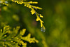 Frozen Drop (pstenzel71) Tags: bäume natur drop frozen winter ice arborvitae lebensbaum treeoflife darktable samsungnx bokeh tropfen