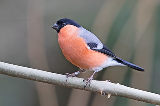 Bullfinch M