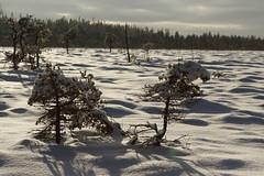 It was here, it was magnificent...it is gone (J. Roseen) Tags: winter vinter landscape landskap snow snö cold kallt nature natur bog mosse komosse sunlight sunshine solljus solsken sunnyday eos7dmkii