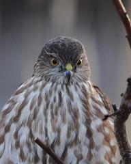 Sharp-shinned Hawk (jlcummins - Washington State) Tags: bird sharpshinnedhawk home washingtonstate yaklima tamronsp150600mmf563divcusd hawk raptor wildlife fauna