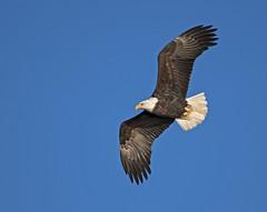 Bald eagle in flight (Joan M) Tags: 5679957 baldeagle eagle flight msriver iowa ld14 bird raptor wildlife
