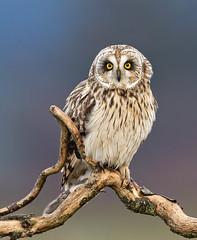 Short - eared Owl (Peter Bangayan) Tags: asioflammeus