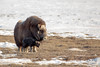 Under Mom's Watch (Dan King Alaskan Photography) Tags: muskox muskoxen ovibosmoschatus calf cow tundra prudhoebay alaska canon50d sigma80400mm