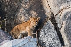 Lion cub (mayekarulhas) Tags: lion cub canon krugernationalpark wildlife wild animal africa southafrica safari