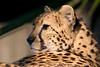 Guepardo (bienve958) Tags: guepardo felinos animales acinonyxjubatus cheetah