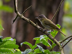 Vireo chivi (azambolli) Tags: vireo chivi juruviara animal ave bird brasil nature natureza