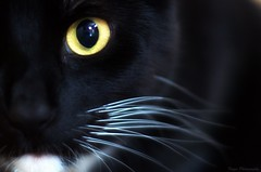 The all seeing EYE (Captions by Nica... (Fieger Photography)) Tags: toby eyes pet portrait whiskers closeup close up feline animal indoor quebec canada cat catmoments catportrait catseyes