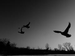 A trio of ducks fly away (Trinimusic2008 - stay blessed) Tags: trinimusic2008 judymeikle nature winter outdoors february snow cold humberbaypark park sky toronto to ontario canada sonydschx80 ice frigid lake lakeontario water trio three ducks flying