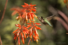 The Aloe Flowers and the Hummingbird (Ms. Jen) Tags: annashummingbird arizona desertbotanicalgarden february2018 hummingbird nikon70200mmf4 nikonafs70200mmf4vredlens nikond800 papagopark phoenix photobyjeniferhanen sonorandesert tempe aloeflowers bird botanicalgarden cactus desert feeding msjencom nectar sipping