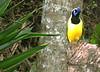 Inca Jay, Cyanocorax yncas yncas (asterisktom) Tags: tripecuadorperu2018 ecuador 2018 january baeza bird vogel ave 鸟 птица 鳥 pajaro v