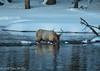 Male adult Elkl Foraging for Food (taharaja) Tags: bison buffalo geysers hotsprings national oldfaithful park snowmobile westyellowstone winter wonderland wyoming yellowstone deer elk falls firehole gardiner gibons idaho lake madison mammoth montana pahaska prismatic snow thermalpool westthumb