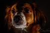 The Night Watch (charley496) Tags: flash speedlight dog kooiker nikon nikkor d750 50mm red shadow dark eyes canine