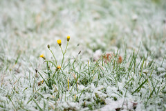 a touch of winter (de_frakke) Tags: sneeuw snow winter geel yellow gras bloemen flowers natuur