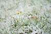 a touch of winter (de_frakke) Tags: sneeuw snow winter geel yellow gras bloemen flowers natuur