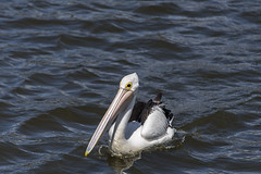 pelican (Greg Rohan) Tags: beak feathers nature bigbird freshwater sydneyparkwetlands pelican sydneypark sydney d750 2018 nikkor nikon water bird wetlands