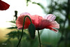 Be different - 7DWF- 'pretty in pink'-1 invited bokeh nature (FLOCVROFF) Tags: 7dwf pretty pink flower fleur coquelicots pavot poppies bokeh nature