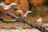 Balancing Acts (pamfromcalgary) Tags: ringbilledgull inglewoodbirdsanctuary bowriver bird tree calgary alberta