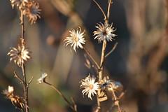 Estrellitas (esta_ahi) Tags: calvia dittrichia viscosa dittrichiaviscosa compositae asteraceae flora plantas secas torrellesdefoix penedès barcelona spain españa испания