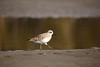 """""""Calidris ruficollis"""" walk (yasushiinanaga) Tags: japan canoneos6d sigma150600mm bird outside natuer"""