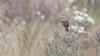 218.2 Bruinrugtapuittiran-20171108-J1711-64530 (dirkvanmourik) Tags: aves birdsofperu bosquenublado brownbackedchattyrant bruinrugtapuittiran carreteraamanu nevelwoud ochthoecafumicolor peru2017 pitajodorsipardo reisdagcuscomanu vogel