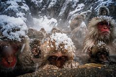Falling Snow (moaan) Tags: yamanouchi nagano japan monkey snowmonkey japanesemacaque bathingmonkey onsen hotsprings snow fallingsnow snowfall cold chill endure jigokudani jigokudanispa jigokudanisnowmonkeypark monkeyfamily ricohgxr gxrmounta12 superangulon21mmf34 leicasuperangulon21mmf34 utata 2018