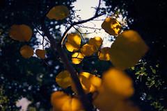 黄色舞う頃 (ryo_ro) Tags: a7 ilce7 sony loxia 35mm f2 carlzeiss zeiss yellow