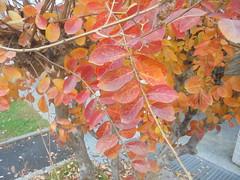 1238 (en-ri) Tags: foglie leaves arancione sony sonysti albero tree
