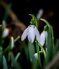 Wet Snow Drop,s. (Omygodtom) Tags: outside season snowdrop flower flickr weired weather green white garden 7dwf dof bokeh d7100 digital diamond star nature nikkor nikon70300mmvrlens nikon detail drops dreaming drama usgs bloom