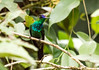 IMG_4840  Violet-fronted Brilliant_hummingbird (ashahmtl) Tags: violetfrontedbrilliant hummingbird helidoxaleadbeateri copalingalodge zamora chinchipeprovince ecuador