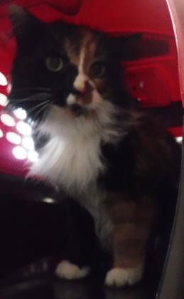 Animal ID 37764213 Species Cat Breed Domestic Longhair/Mix Gender Female Date Found 2/3/2018 Size Medium Color Black / Orange Color Pattern Calico Site Calgary Humane Society Weight 4.4 kilogram Declawed No Report Type Animal in Custody page- http://bit.l