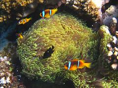 Nemos, Red Sea, Egypt (bayernphoto) Tags: korallenriff riff reef coral bunt steinkorallen weichkorallen lederkorallen nemo clownfisch rochen blaupunkt leopard papageifisch fisch fish klar crystal clear aegypten egypt misr napoleon lippfisch schildkroete turtel turtoise barsch grouper colorful intakt vielfaeltig diversitaet diversity falterfisch feilenfisch wimpelfisch doktor druecker kugelfisch moerdermuschel fusiliere red sea sohal wadi lahamy bay strand schnorcheln snorkelling diving apnoe picasso schwaemme mangroven meer unterwasser weichkoralle riffdach schnorchler