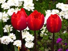 Vorfreude (chrisheidenreich) Tags: rot red tulpen spring frühling flower blumen