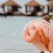 Flamingo at Renaisance Island