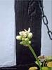 Die Geranie hält tapfer durch. -  The germanium defies the cold for a long time (Jorbasa) Tags: geranie geranium jorbasa hessen germany wetterau deutschland pflanze blüte blossoom winter kälte