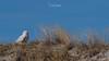 Snowy Owls of New Jersey | 2018 - 16 (RGL_Photography) Tags: beachowl birding birds birdsofprey birdwatching buboscandiacus gardenstate jerseyshore mothernature nature newjersey nikonafs600mmf4gedvr nikond500 oceancounty ornithology owls raptors snowyowl us unitedstates wildlife wildlifephotography