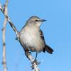 Mocking Bird (Ed Sivon) Tags: america canon nature lasvegas wildlife wild western southwest desert clarkcounty clark vegas bird flickr nevada park