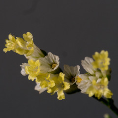 Limonium (peter_paul52) Tags: plumbaginaceae deutschland radeburg sachsen pflanzen blumenstraus