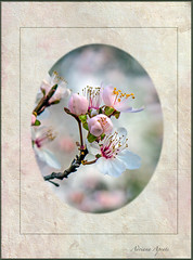 22 febbraio 2018 (adrianaaprati) Tags: flowers flowering composition oval frame blur nature beauty blooming closeup textured evelynflint