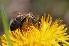 IMG_13436Abeille sur pissenlit ( UNIXetvous ) Tags: fleur flower insect bokeh pollen
