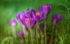 Spring Crocus, Snowdrops series - 6 (Dhina A) Tags: sony a7rii ilce7rm2 a7r2 diaplan 100mm f28 bokeh bubble circle projector projection lens trioplan triplet spring crocus snowdrops
