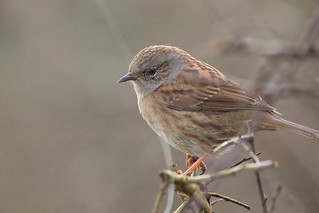 The Hedge Sparrow