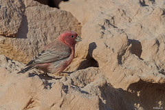Sinai rosefinch (Dave 5533) Tags: sinairosefinch bird songbird wild nature outdoor birwatching wildlife naturephotography animal birdsinisrael canoneos1dx canonef300mmf28 wildlifephotography ngc