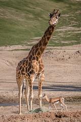 Tall and Small.  That's the long and short of it! (Susan.Johnston) Tags: antelope sdzsafaripark california sandiegozoosafaripark giraffe southernsteenbok pharoahschicken