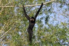 Gibbon à favoris roux (Passion Animaux & Photos) Tags: primate gibbon favoris roux monkey crested yellowcheeked parc animalier saintecroix france