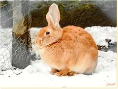 Un joli lapin roux - A pretty red bunny (Jogabi - Michèle) Tags: sunrays5 coth5