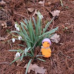 Ducky, snowdrops and no snow thumbnail